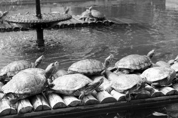 Tortugas del Jardin Botanico de Rio de Janeiro