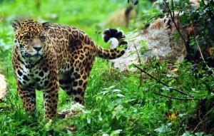 Proyecto Yaguareté  busca proteger esta especie y cuidar la biodiversidad del Iguazú